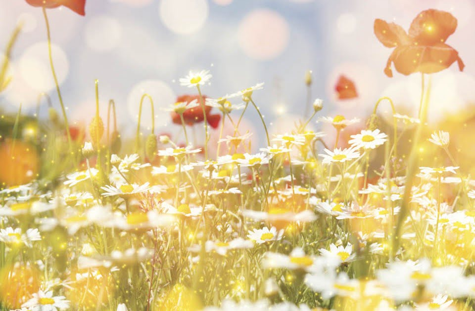 Daisy field and red poppy colorful sun light background